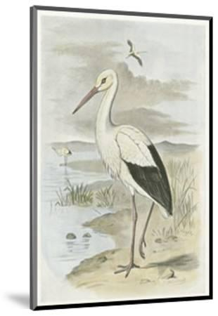 White Stork--Mounted Art Print