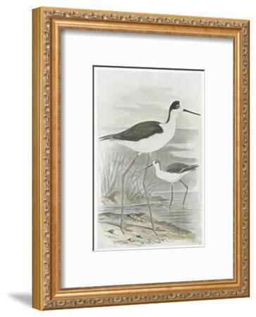 Winged Stilt--Framed Art Print