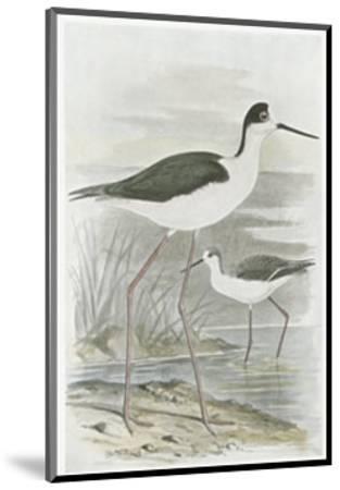 Winged Stilt--Mounted Art Print