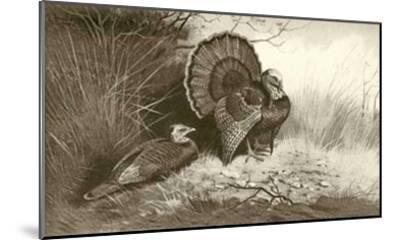 Wild Turkey-Archibald Thorburn-Mounted Art Print