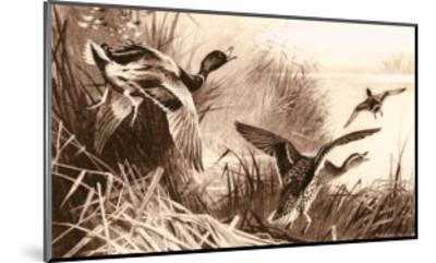 Ducks-Archibald Thorburn-Mounted Art Print