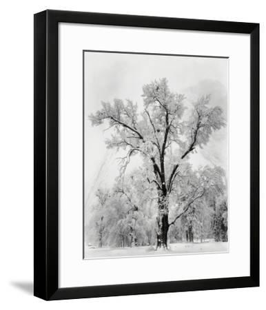 Pine Forest in Snow, Yosemite National Park, 1932-Ansel Adams-Framed Art Print
