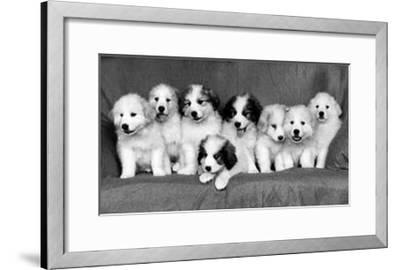 Great Pyrenees Puppies--Framed Art Print