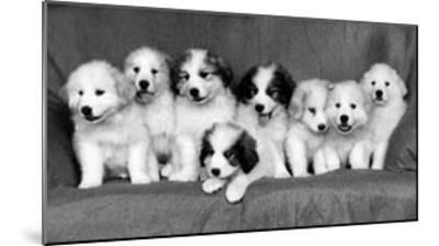 Great Pyrenees Puppies--Mounted Art Print