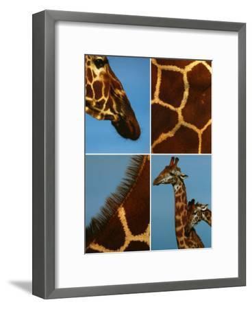 Giraffes-Jean-Michel Labat-Framed Art Print
