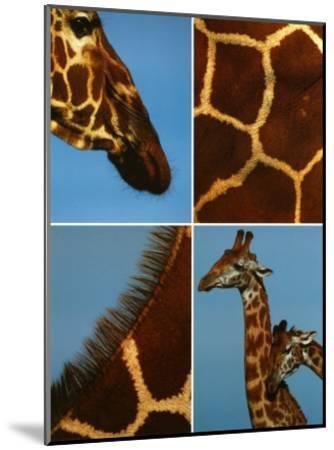 Giraffes-Jean-Michel Labat-Mounted Art Print