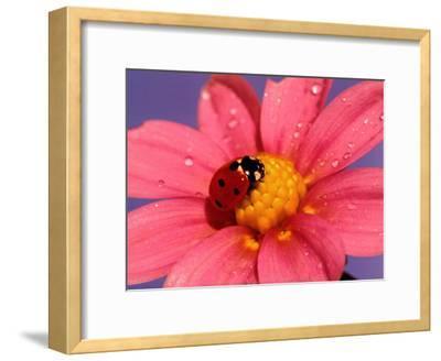 Ladybird-Ratier-Framed Art Print