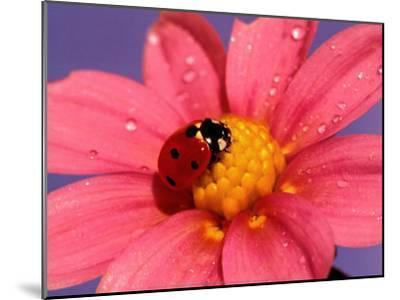 Ladybird-Ratier-Mounted Art Print