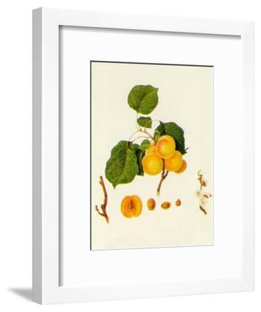 Prunus Armeniaca--Framed Art Print