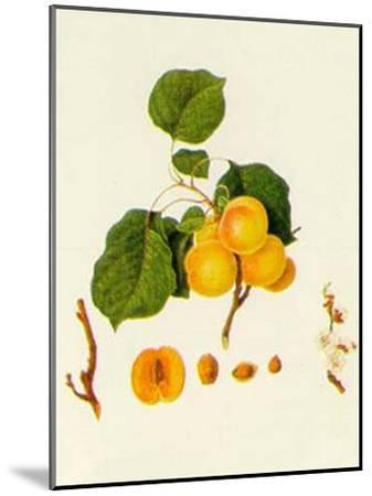 Prunus Armeniaca--Mounted Art Print