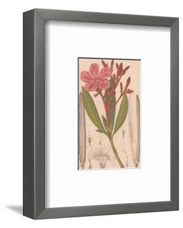 Laurier Rose--Framed Art Print