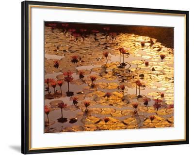 Lotus Pond-Bruno Baumann-Framed Art Print