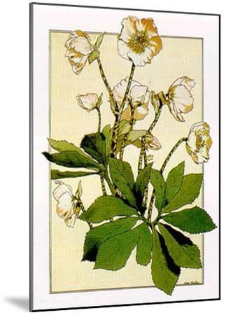 Helleborus-Anna Martin-Mounted Art Print