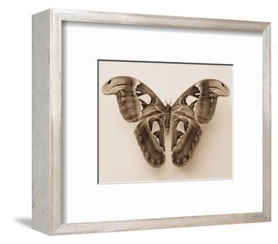 Attacus Atlas-Raquel Edwards-Framed Art Print