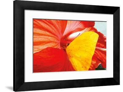 Yellow Butterfly-David Luczyn-Framed Art Print