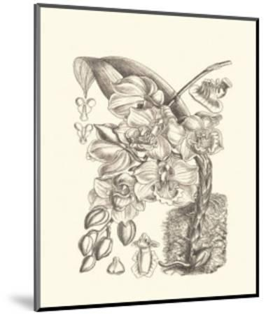Black and White Curtis Orchid VIII-Samuel Curtis-Mounted Art Print