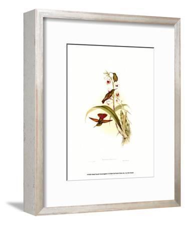 Small Gould Hummingbird II-John Gould-Framed Art Print