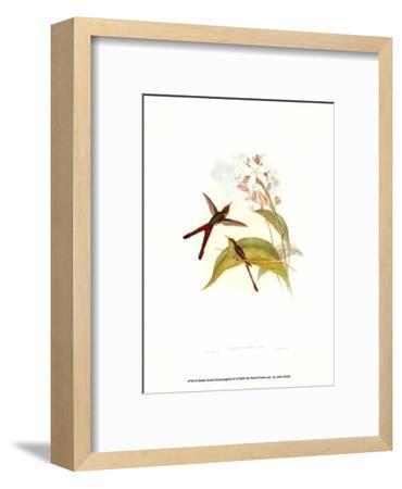 Small Gould Hummingbird III-John Gould-Framed Art Print
