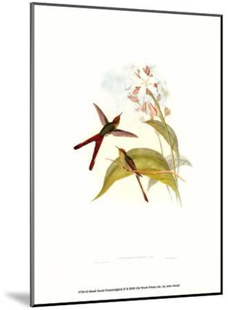 Small Gould Hummingbird III-John Gould-Mounted Art Print