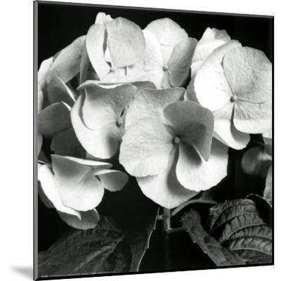Hydrangea-Darlene Shiels-Mounted Art Print