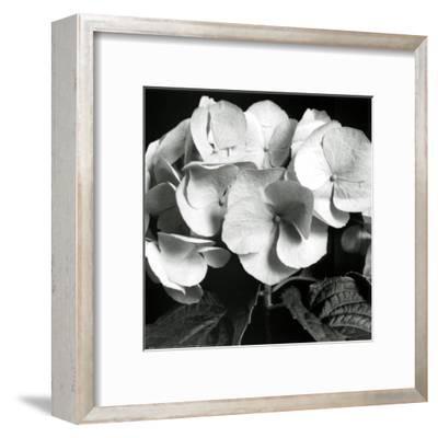 Hydrangea-Darlene Shiels-Framed Art Print