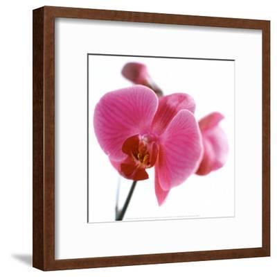 Pink Orchid-C?dric Porchez-Framed Art Print