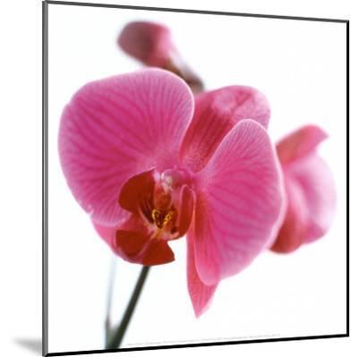 Pink Orchid-C?dric Porchez-Mounted Art Print