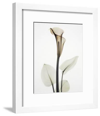 Calla I-Albert Koetsier-Framed Art Print