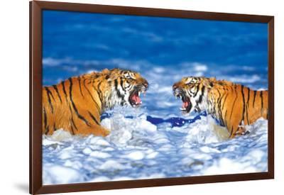 Bengal Tigers Roaring--Framed Premium Giclee Print
