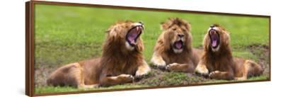 Lions Yawning--Framed Premium Giclee Print