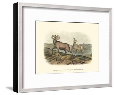 Rocky Mountain Sheep-John James Audubon-Framed Art Print
