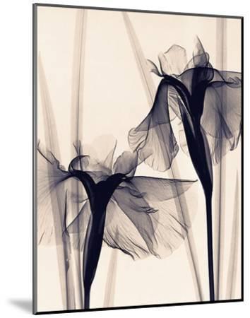 Japanese Iris-Judith Mcmillan-Mounted Art Print