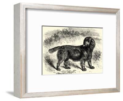 Sussex Spaniel--Framed Art Print