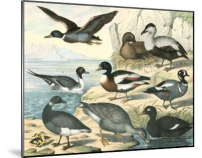 Avian Collection IV--Mounted Giclee Print