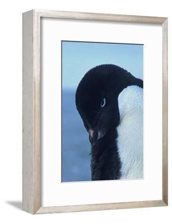 Blue-Eyed Adelie Penguin-Charles Glover-Framed Giclee Print