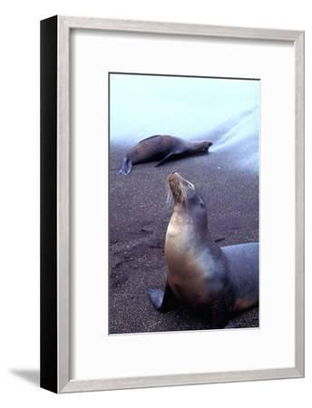 Stretching Seal, Galapagos-Charles Glover-Framed Giclee Print