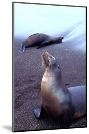 Stretching Seal, Galapagos-Charles Glover-Mounted Giclee Print