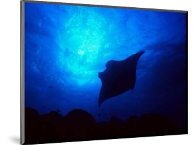 Sea Manta Burst-Charles Glover-Mounted Giclee Print