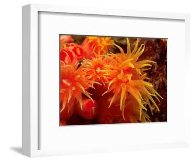 Orange Anemone, Ito Sea-Charles Glover-Framed Art Print