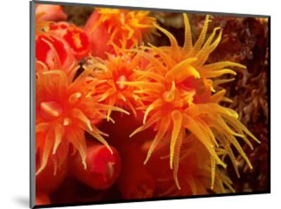 Orange Anemone, Ito Sea-Charles Glover-Mounted Art Print