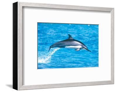 Hawaiian Spinner Dolphins-Michael S^ Nolan-Framed Art Print