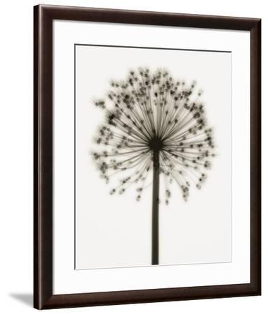 Allium-Steven N^ Meyers-Framed Art Print