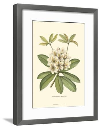 Rhododendron--Framed Art Print