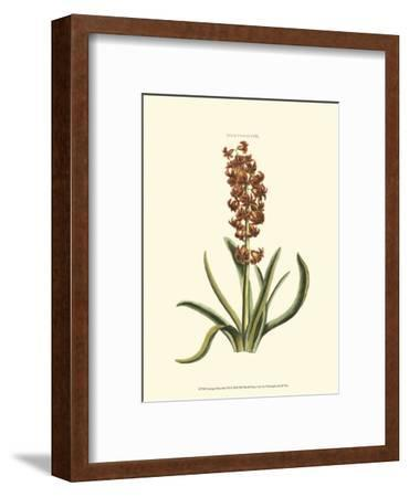 Antique Hyacinth VII-Christoph Jacob Trew-Framed Art Print