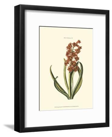 Antique Hyacinth V-Christoph Jacob Trew-Framed Art Print