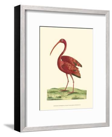 Red Ibis-Frederick P^ Nodder-Framed Art Print