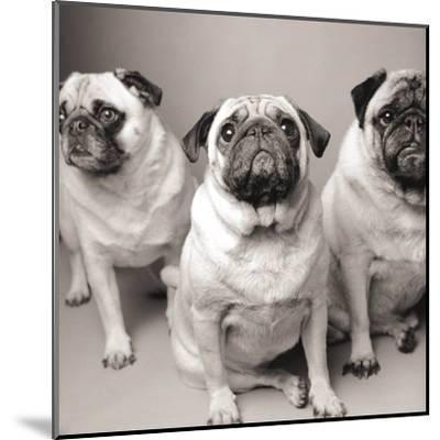 Three Pugs-Amanda Jones-Mounted Art Print