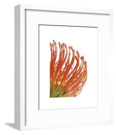 Orange Protea V-Jenny Kraft-Framed Giclee Print