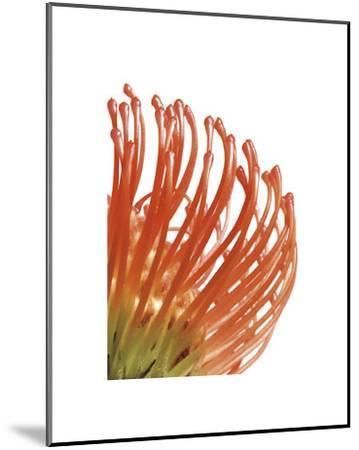 Orange Protea V-Jenny Kraft-Mounted Giclee Print
