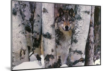 Mountain Ranger-Art Wolfe-Mounted Art Print